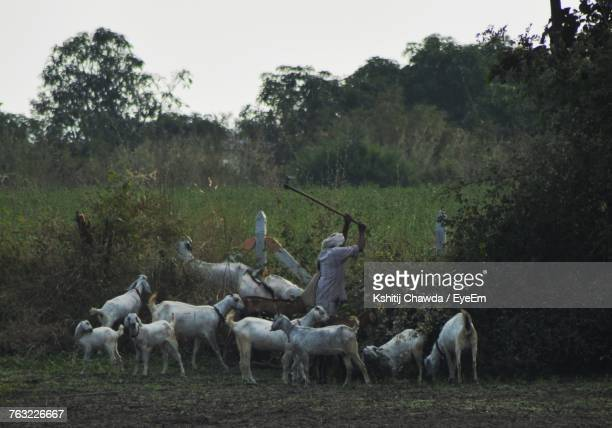Side View Of Farmer Standing By Goats While Working At Farm Against Sky