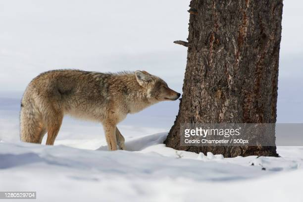 side view of fox standing on snow covered field,parc national de yellowstone,united states,usa - parc national de yellowstone stock pictures, royalty-free photos & images