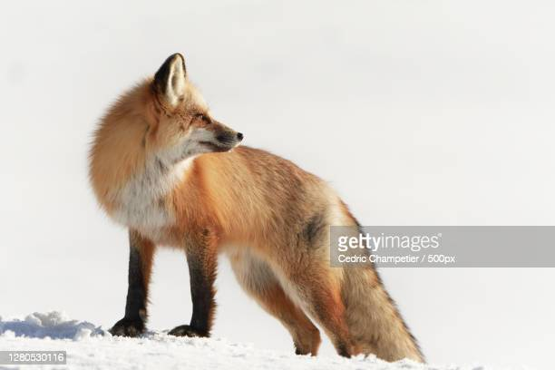 side view of fox standing on snow covered land,parc national de yellowstone,united states,usa - parc national de yellowstone stock pictures, royalty-free photos & images