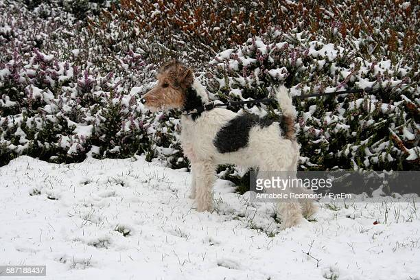 Side View Of Fox Terrier Standing In Snow Against Frozen Plants At Richmond Park