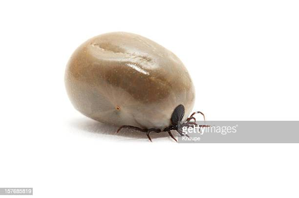 Side view of fully fed tick on white background