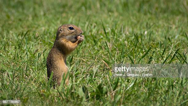 side view of gerbil sitting in grass - gerbil stock pictures, royalty-free photos & images