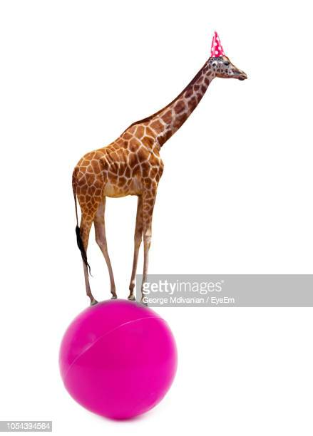 side view of giraffe standing on pink ball over white background - white giraffe stockfoto's en -beelden