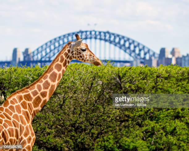 Side view of giraffe with bridge in background