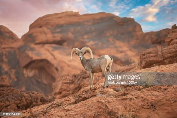 side view of goat standing on rock against mountains,valley of fire state park,united states,usa - valley of fire state park stock pictures, royalty-free photos & images