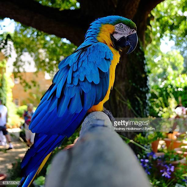 Side View Of Gold And Blue Macaw Perching On Bamboo In Park