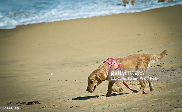 side view of golden retriever walking at beach - filho stock pictures, royalty-free photos & images