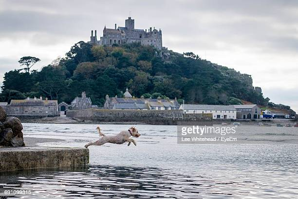 Side View Of Goldendoodle Dog Diving In Sea Against St Michaels Mount