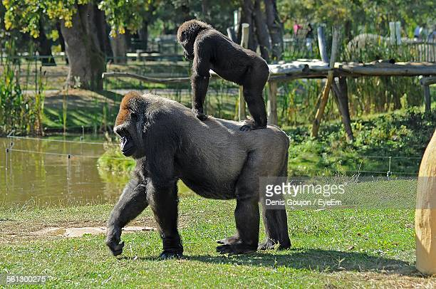 Side View Of Gorilla With Young One