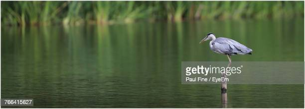 Side View Of Gray Heron Perching On Wooden Post In Lake