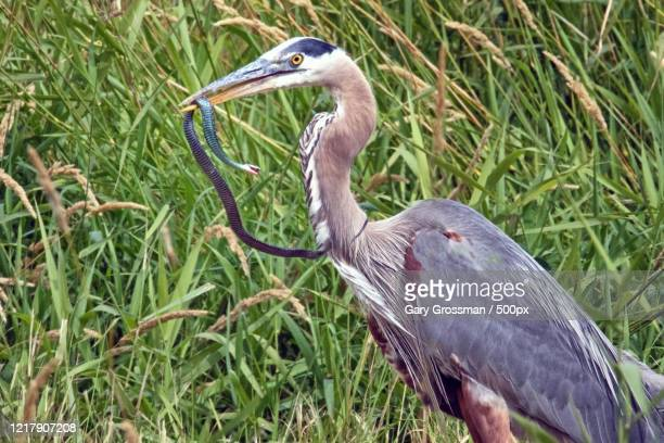 side view of great blue heron catching a western garter snake, ridgefield national wildlife refuge, washington, usa - jarretel stockfoto's en -beelden