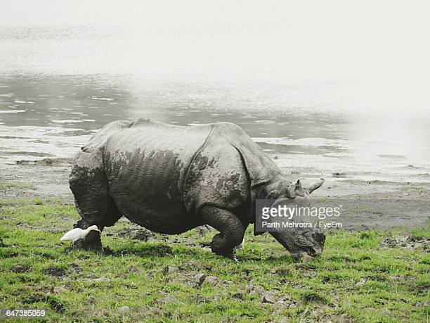 Side View Of Great Indian Rhinoceros With Bird At Kaziranga National Park