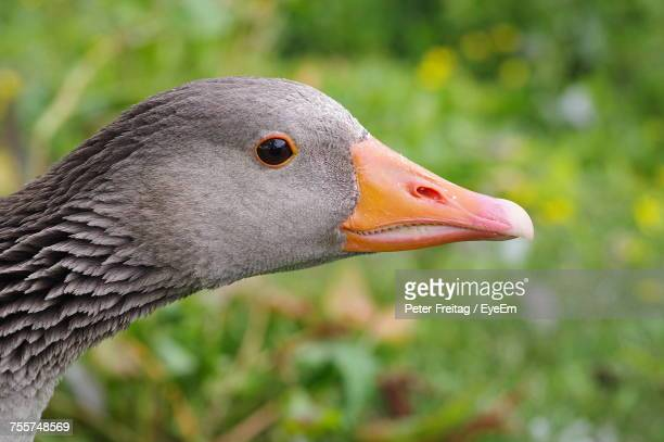 Side View Of Greylag Goose