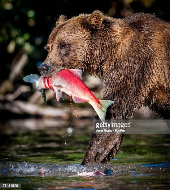 Side View Of Grizzly Bear Walking In Lake