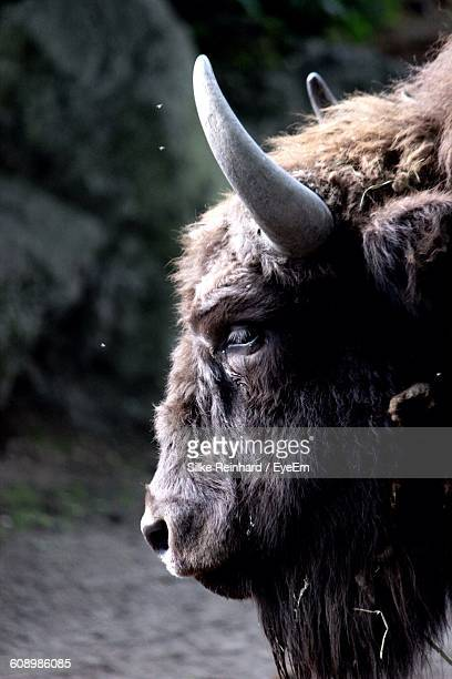 Side View Of Hairy Bull