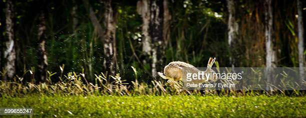 Side View Of Hare On Grassy Field