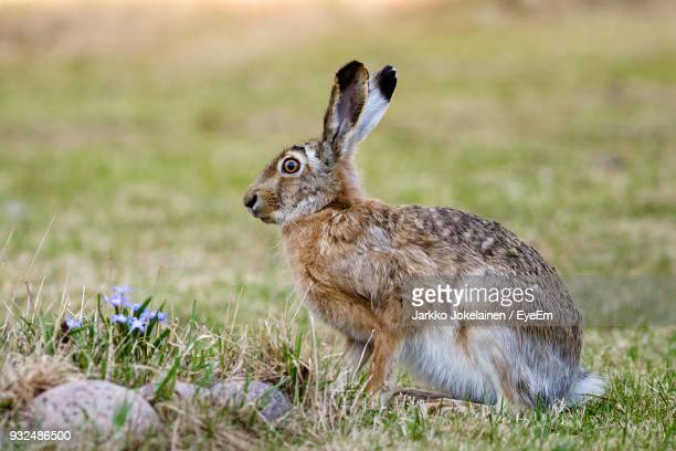 side view of hare sitting on grassy field - brown hare stock pictures, royalty-free photos & images