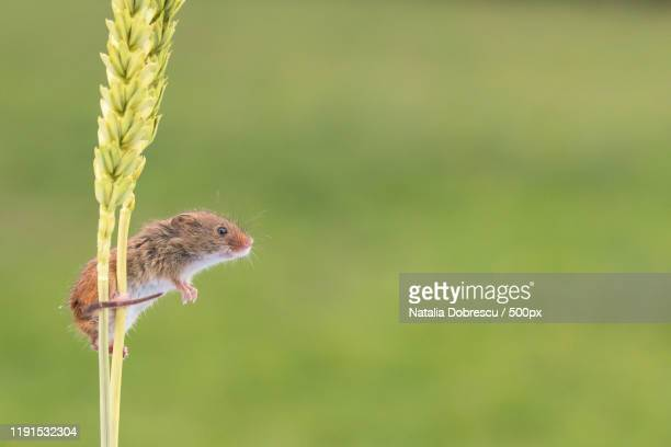 side view of harvest mouse perched on wheat, dorset, united kingdom - harvest mouse stock pictures, royalty-free photos & images