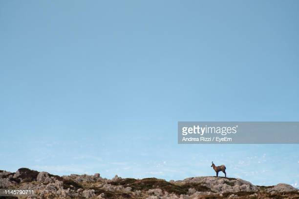 Side View Of Horned Mammal Standing On Rock Against Sky