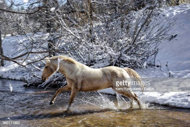 side view of horse running in river during winter - kerry estey keith stock photos and pictures