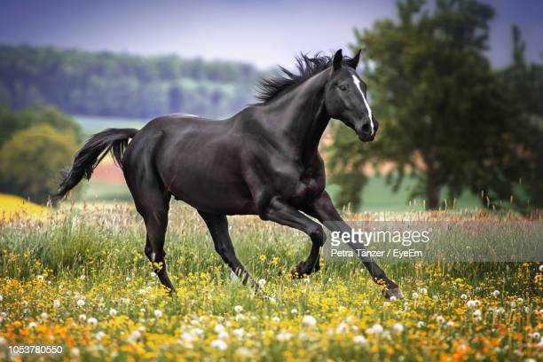 side view of horse running on field - horses running stock pictures, royalty-free photos & images