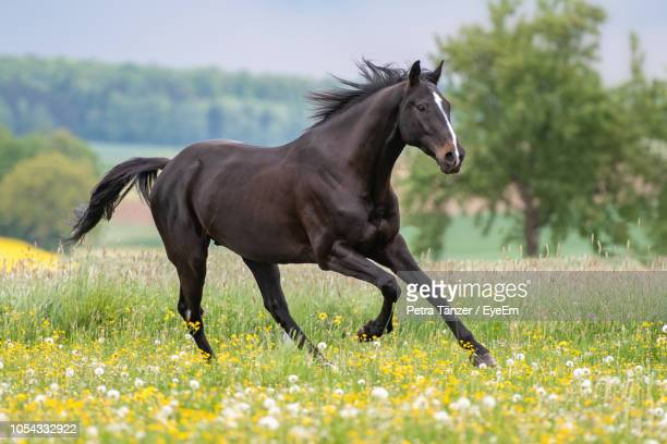 Side View Of Horse Running On Field