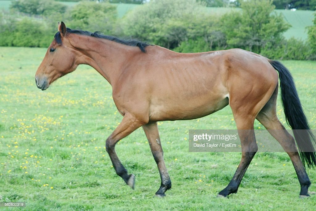 side view of horse walking on grassy field stock photo