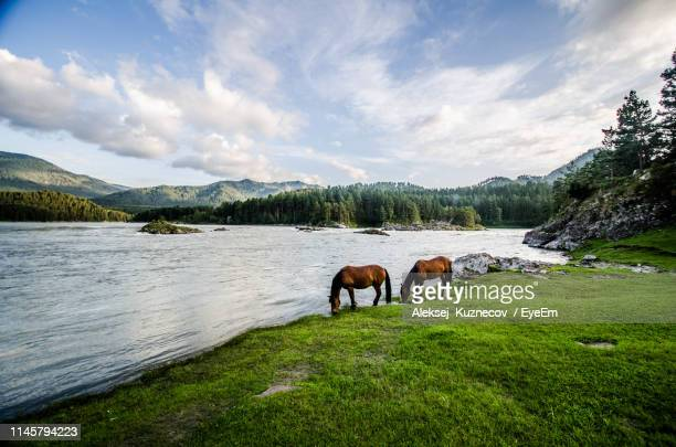 side view of horses drinking water from lake in forest - grazing stock pictures, royalty-free photos & images