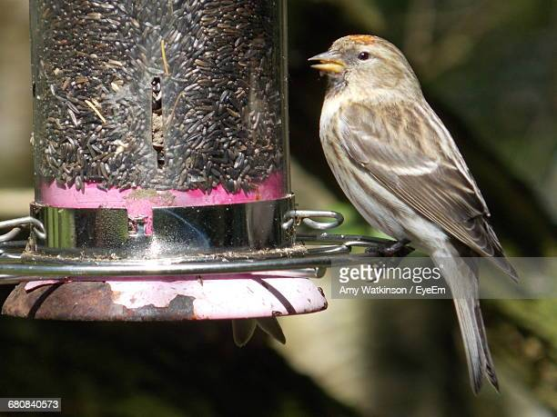 Side View Of House Finch Perching On Bird Feeder
