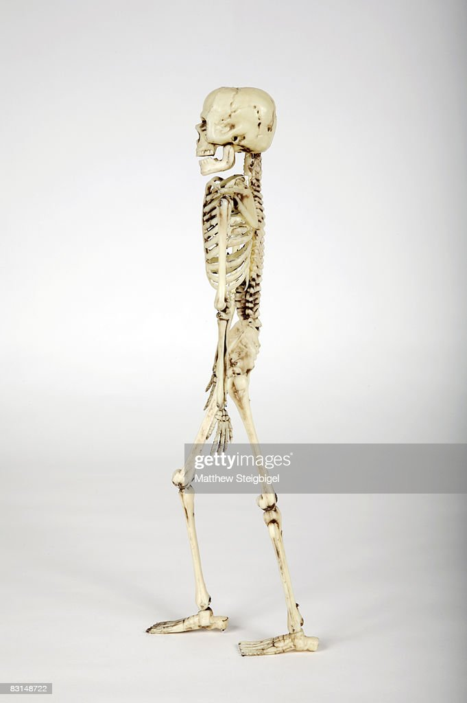 Side View Of Human Skeleton Stock Photo Getty Images