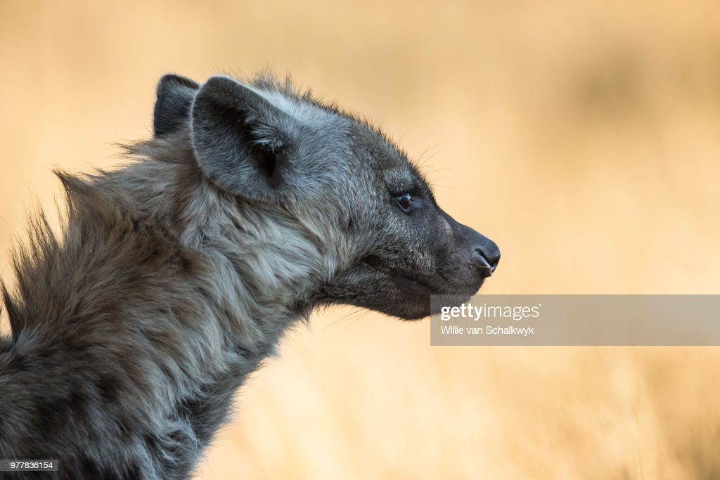 Side view of hyena, Kruger National Park, South Africa : Stock Photo
