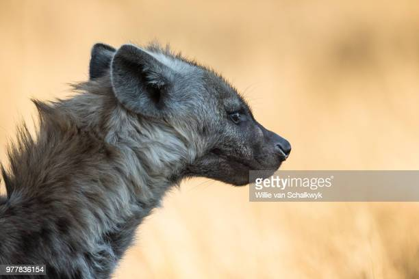 Side view of hyena, Kruger National Park, South Africa
