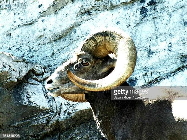 Side View Of Ibex Against Rock