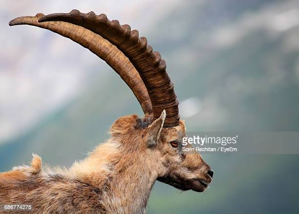 Side View Of Ibex Outdoors