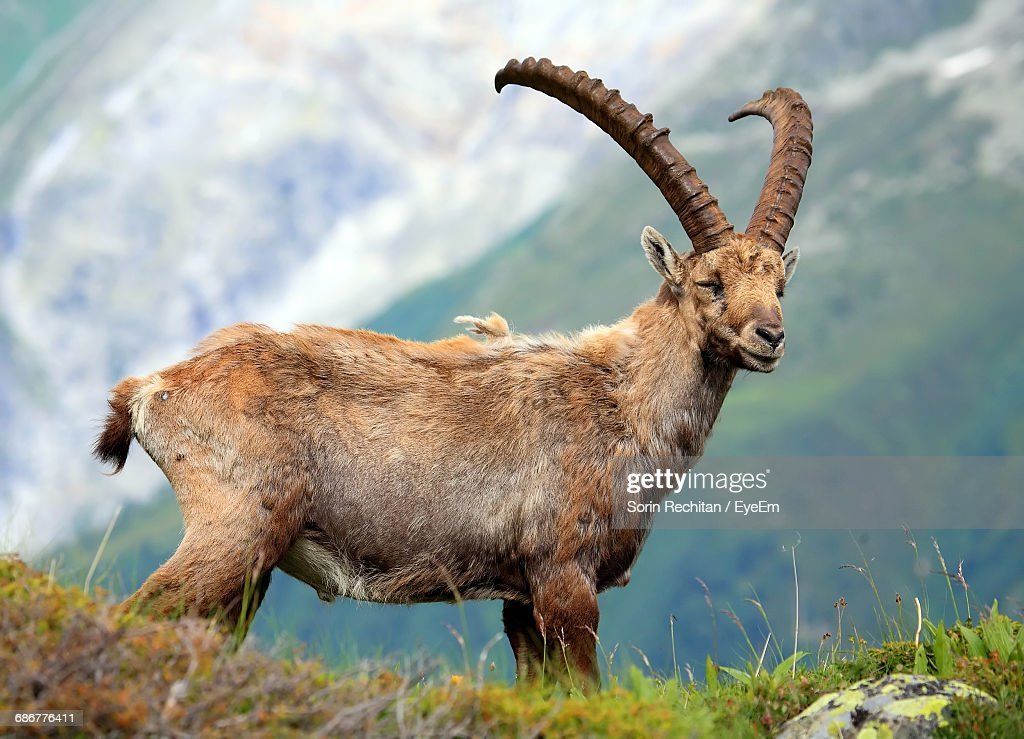 Side View Of Ibex Standing On Field : Stock Photo