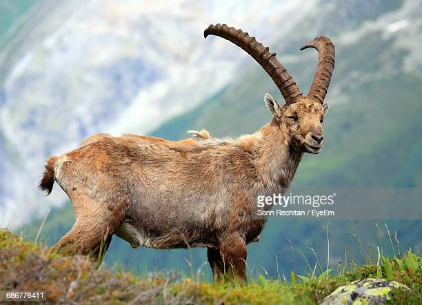 side view of ibex standing on field - ibex ストックフォトと画像