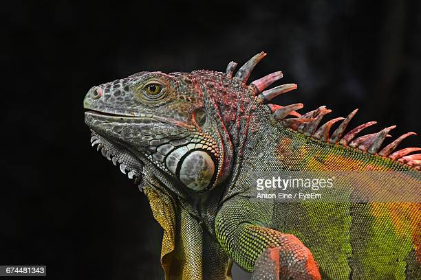 side view of iguana against black background - iguana - fotografias e filmes do acervo