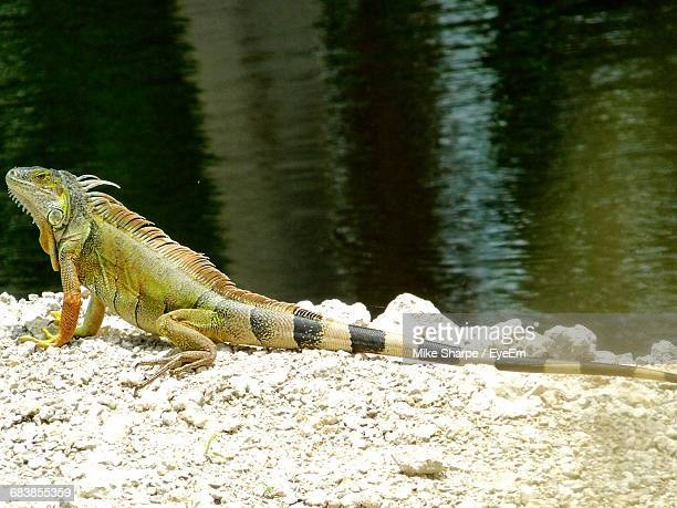 Side View Of Iguana At Lakeshore