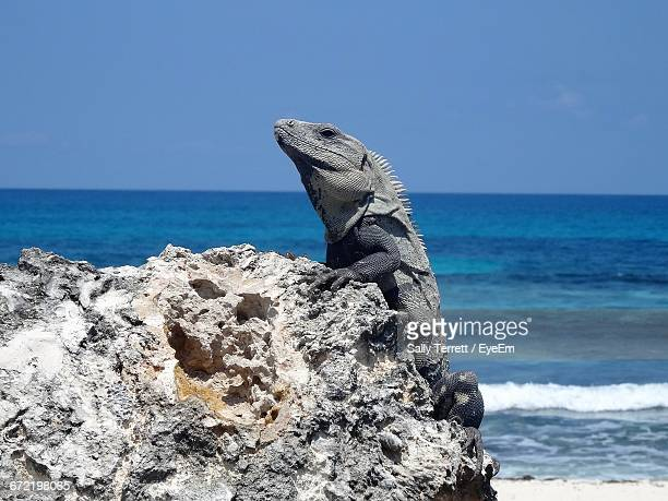 Side View Of Iguana On Rock Against Calm Blue Sea
