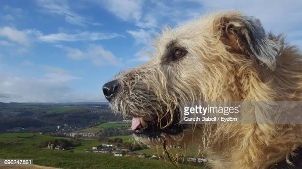 Side View Of Irish Wolfhound Against Sky