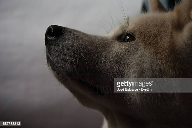 Side View Of Japanese Akita