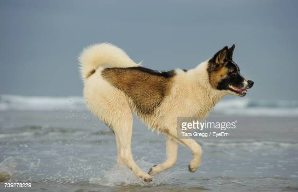 Side View Of Japanese Akita Running On Shore At Beach