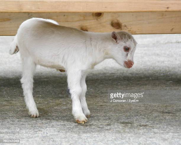 Side View Of Kid Goat