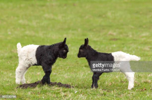 Side View Of Kid Goats Standing On Field