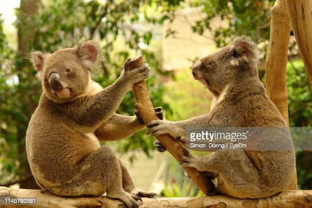 side view of koalas sitting on branch - koala stock pictures, royalty-free photos & images