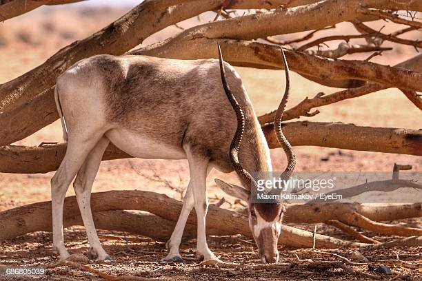 Side View Of Kudu Outdoors