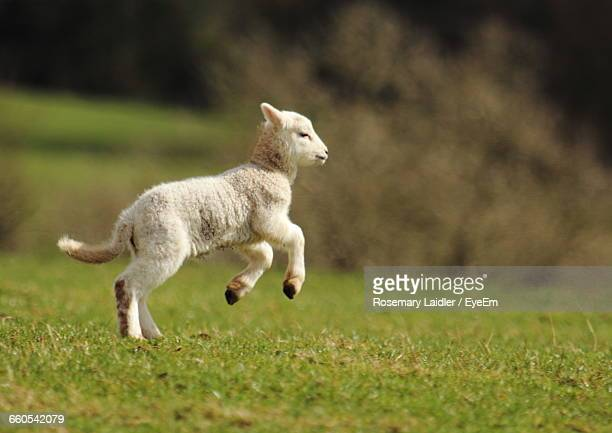 Side View Of Lamb On Field