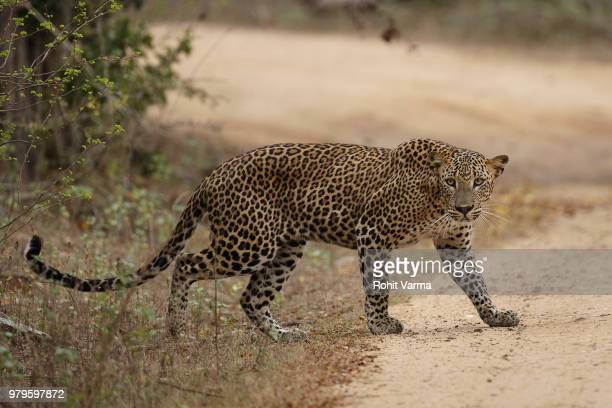 side view of leopard (panthera pardus), sri lanka - leopard stock pictures, royalty-free photos & images