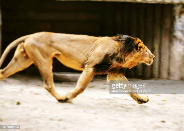 side view of lion running - carnivora stock photos and pictures