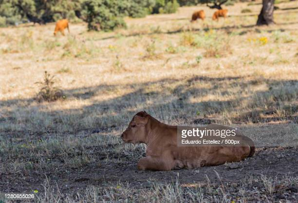 side view of lion sitting on grassy field,valdeobispo,extremadura,spain - vista lateral stock pictures, royalty-free photos & images